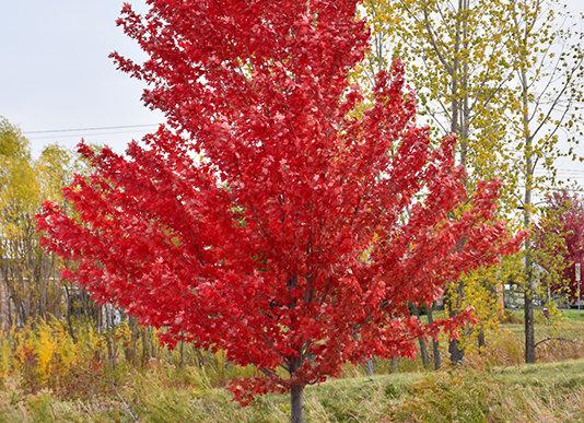 Maple - Autumn Spire Red