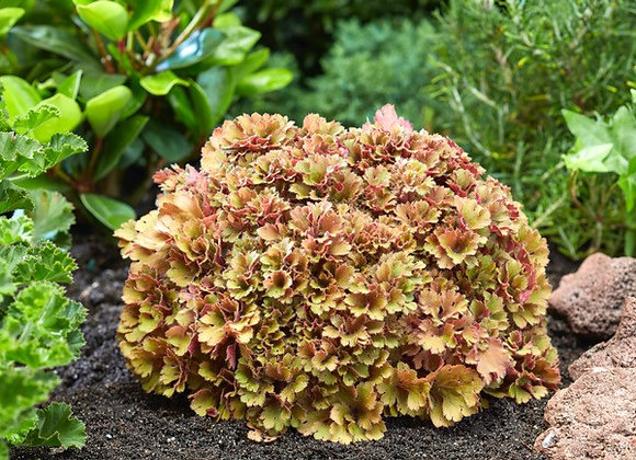 Coral Bells - Frilly