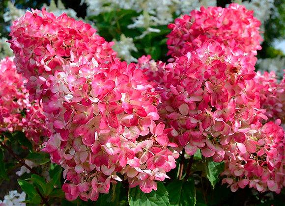 Hydrangea - Pink Diamond