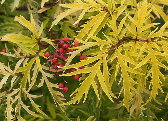 Elderberry - Lemony Lace