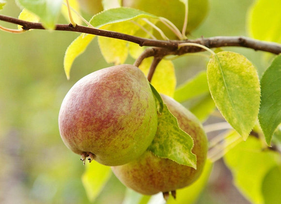 Pear - Golden Spice