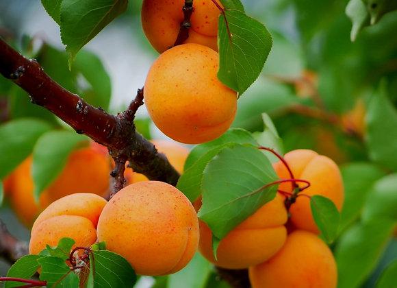 Apricot - Manchurian