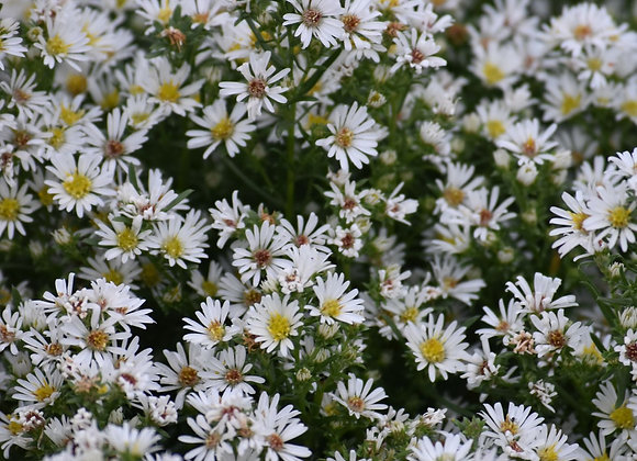 Many Flowered Aster