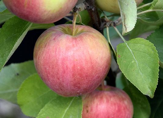 Apple - Dexter Jackson