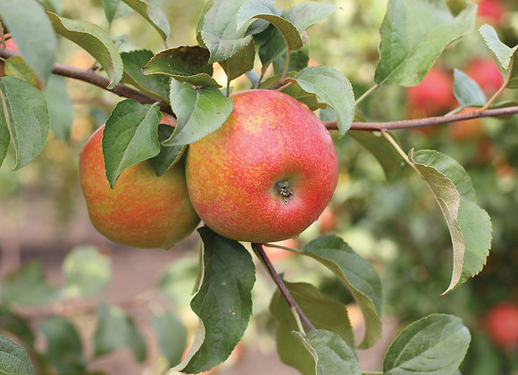 Apple - Dwarf Honeycrisp