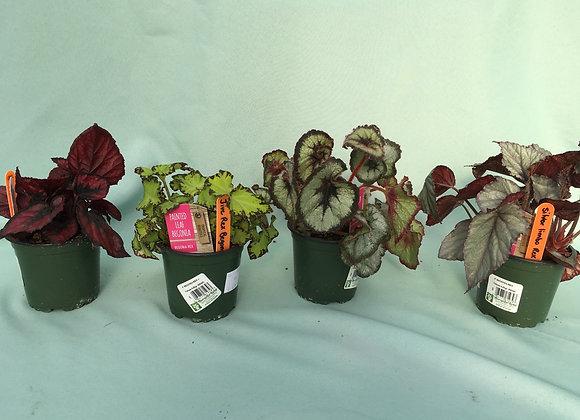 "4"" Rex Begonia - Assorted"