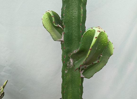 Permanent Cactus Plant