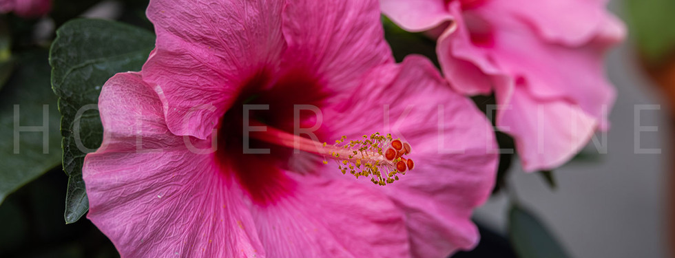 Close up to a violet hibiscus flower.