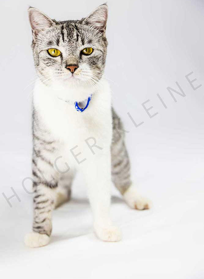 Gray adorable kitten on white background looks curiously around