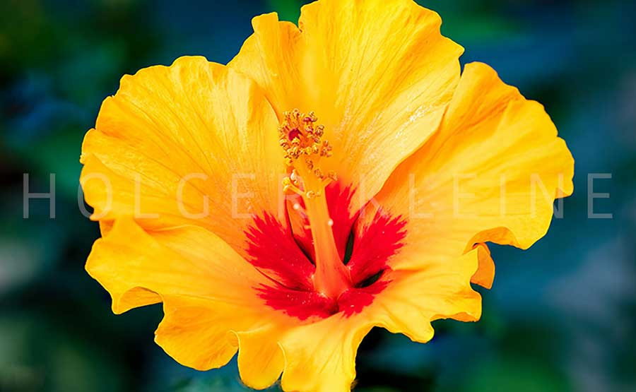 Close up to a yellow hibiscus flower.