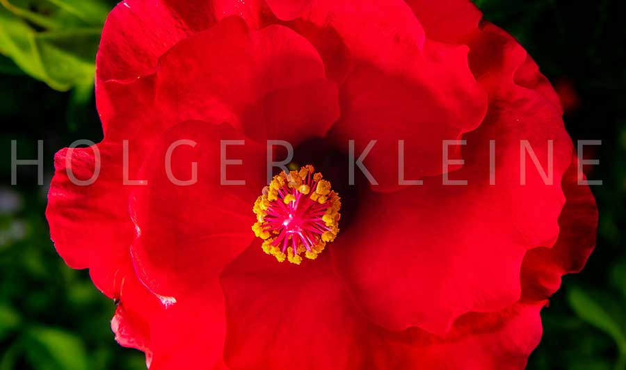 Close up to a red hibiscus flower.