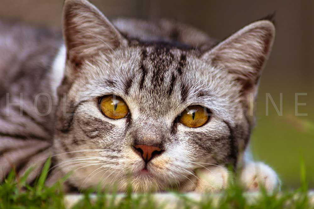 A young female cat with clear yellow eyes lays in the grass