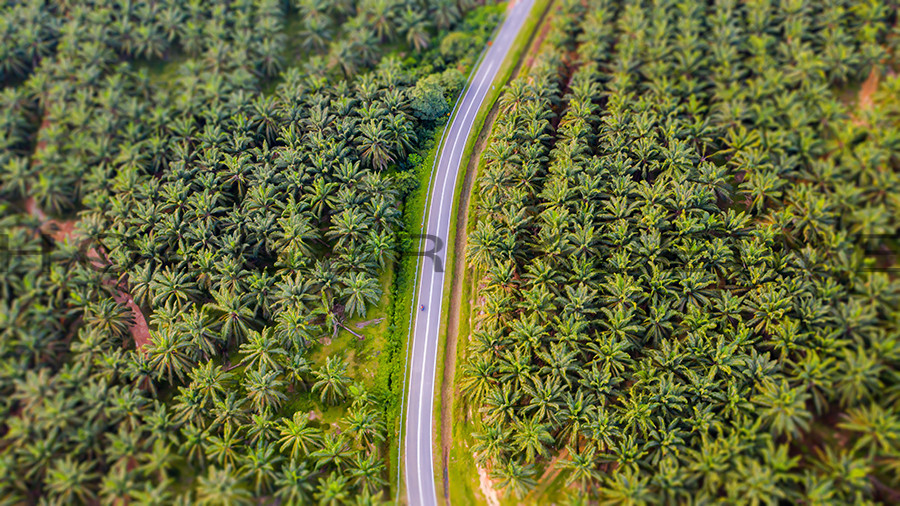 Aerial view of a palm oil plantation in Malaysia.