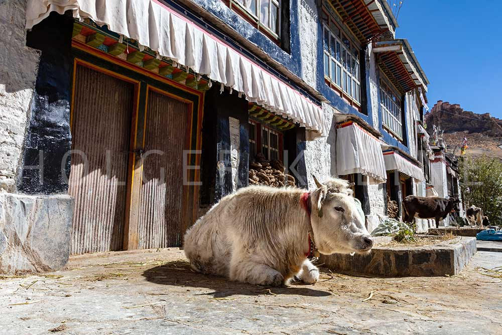 A cow lies in front of a Tibetan house in the small village of Shigatse, Tibet