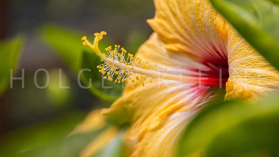 Close-up of yellow hibiscus blossom behind green leaves.