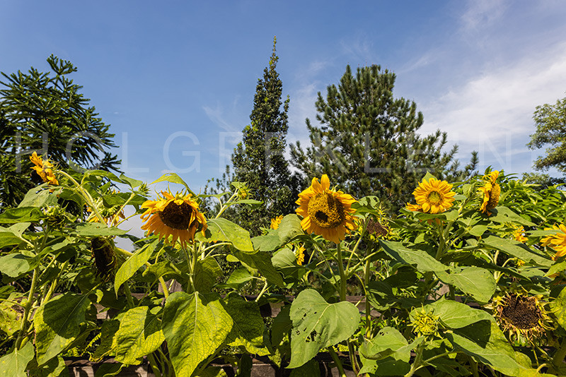 A hedge of sunflowers