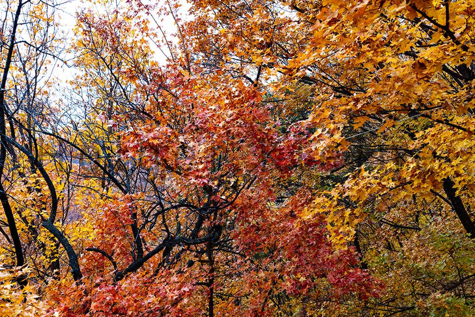 Colorful autumn leaves in the forest near by the great china wall