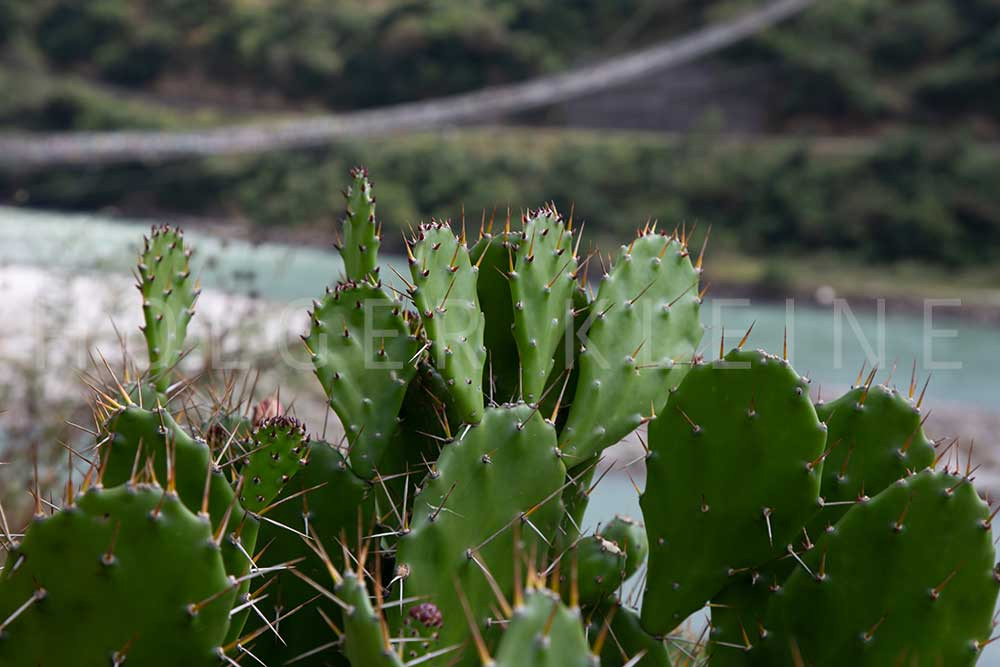Cactus in the Himalaya mountains of Bhutan.