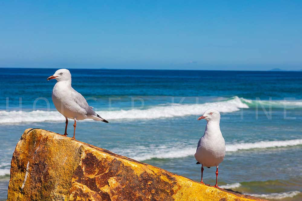 Seagulls sitting on a rock at the beach near Sunshine Coast, Australia