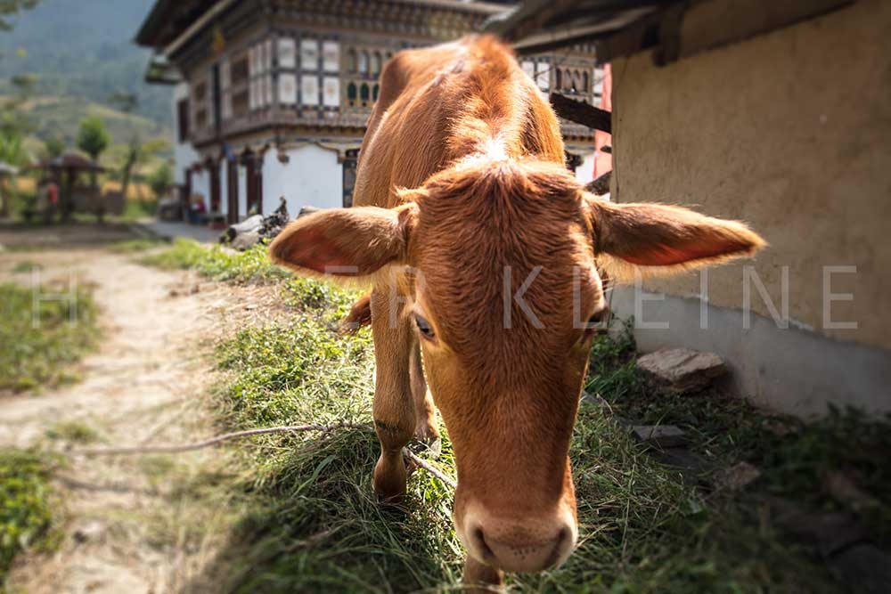 Close up of a cow in a small village in the Bhutan Himalayas