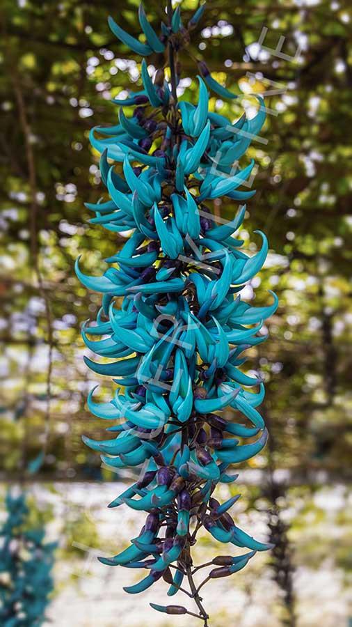 A rare blue hanging tropical flower, the Jade Vine