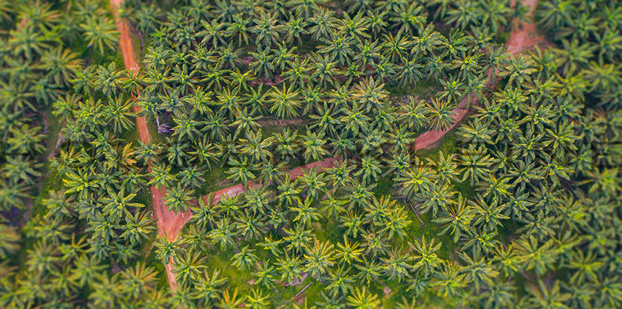 Aerial view, directly above a small footpath through a palm oil plantation