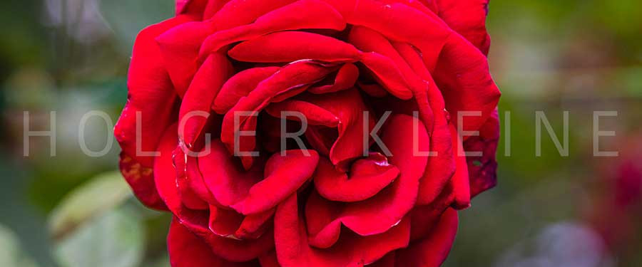 Close-up of red rose blossom.
