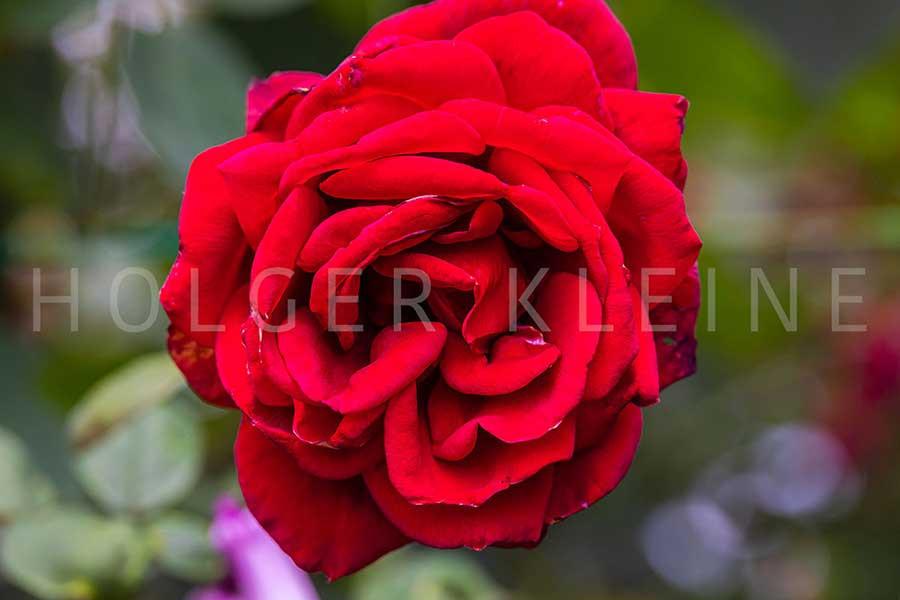 Close-up of red rose blossom.