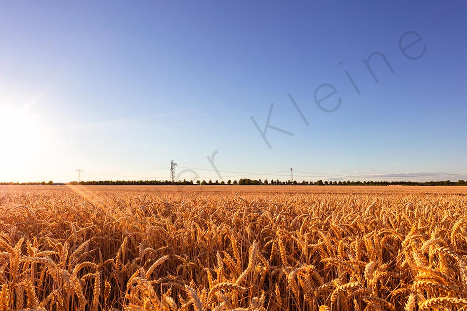 Panorama of a gold wheat field in sunset