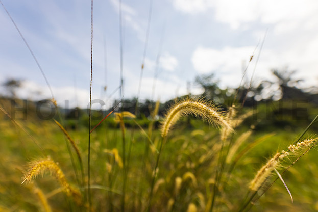 Close up of wild wheat in a meadow
