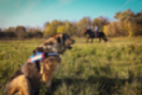 Muscular german shepherd wearing Julius-K9 harness watching horses
