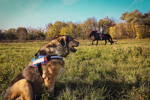 Muscular german shepherd wearing Julius-K9 harness watching horses