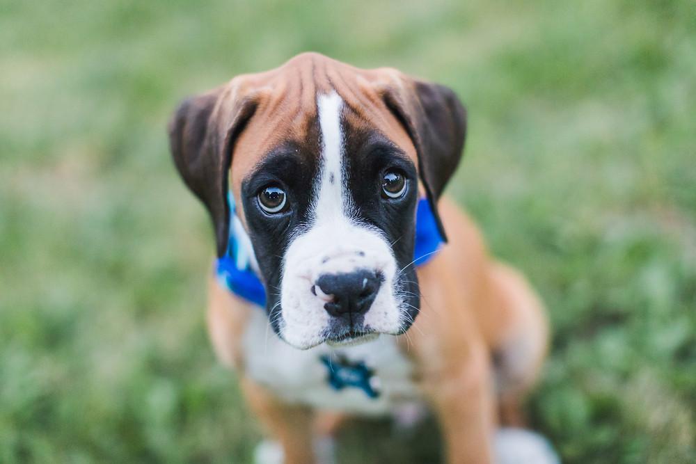 Pet Photographer Joliet, IL Boxer Puppy