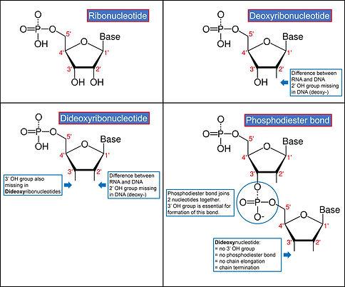 Nucleotides v2.jpg