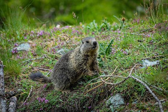 marmot%20sitting%20on%20the%20ground_edi