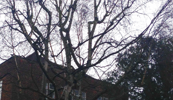 Sparing the birch
