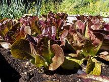 Sweet Valentine lettuce P6136922.jpg