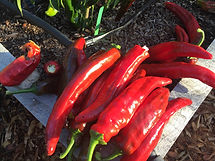 Dulce rojo pepper IMG_2488.jpg
