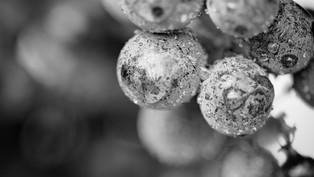 WINE DROPPLETS