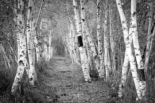 The Birches of Sieur De Monts B/W