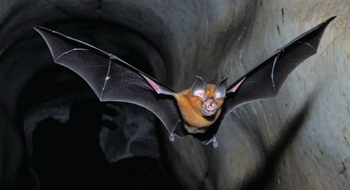 Wuhan Scientists Planned To Release 'Chimeric Covid Spike Proteins' Into Bat Populations Using 'Skin