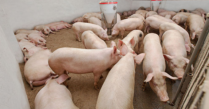 Here's another reason to avoid pork!