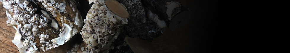 barnaclesbaner.jpg