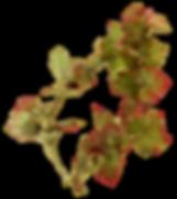 feuilles-vigne.png