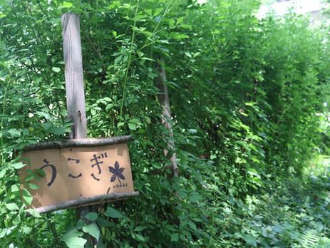 米沢伝統野菜 うこぎ