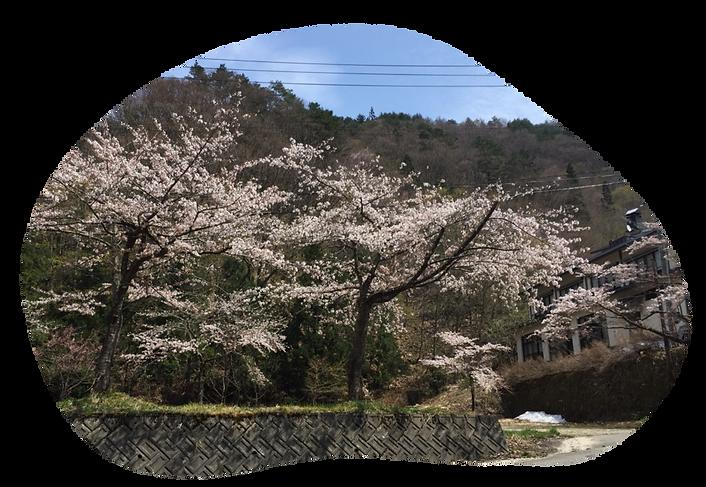 桜の景色.png