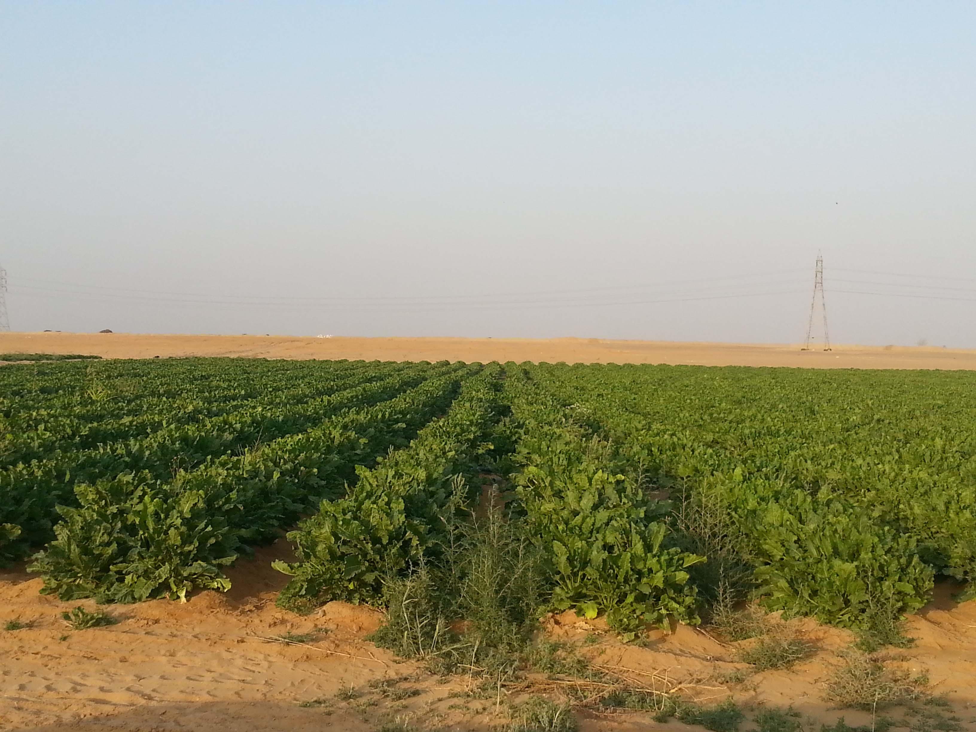 Agricultural Plantation Sugar Beat