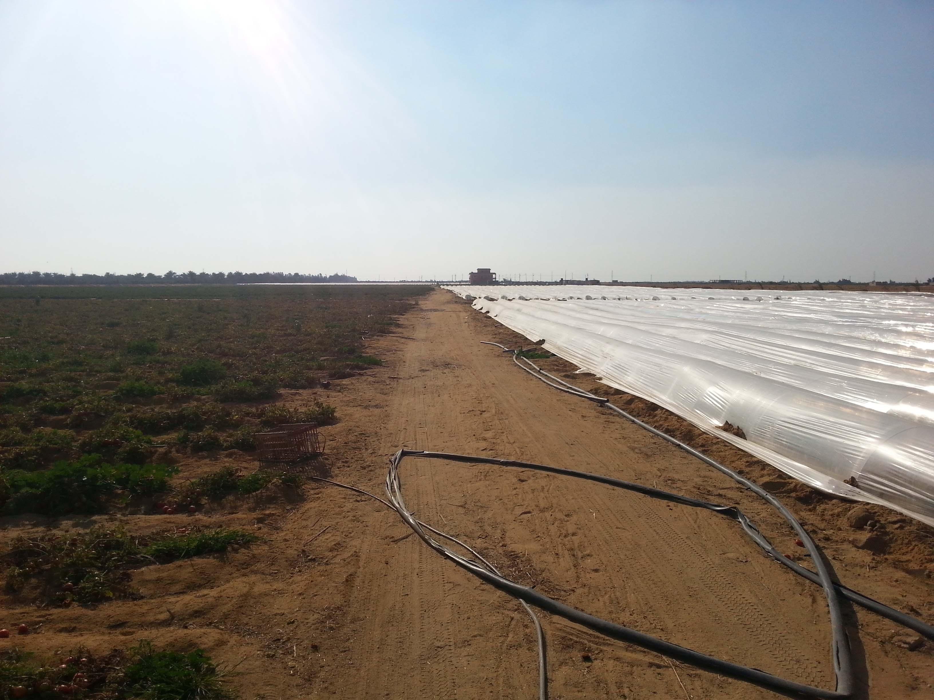 Tomato Plantation (Winter vs Summer)