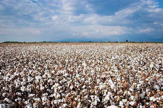 cotton_field-5842174_640_compressed.jpg