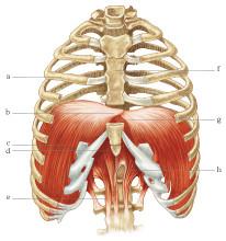Il Diaframma: un muscolo fondamentale!